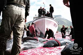 The slaughter of cetaceans is outlawed throughout the EU, including Denmark, in accordance with Appendix II of the Bern Convention. Photo: Mayk Wendt