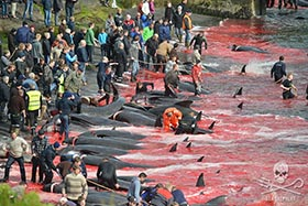 July 23, 2015. 111 pilot whales slaughtered on the Bøur killing beach. Photo: Mayk Wendt