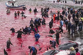 61 pilot whales have been slaughtered in the Faroe Islands. Photo: Mayk Wendt
