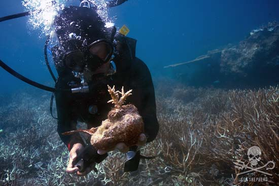 Coral propagation courses on offer through Sea Shepherd Dive affiliates Ocean Quest. Photo: Gary Stokes