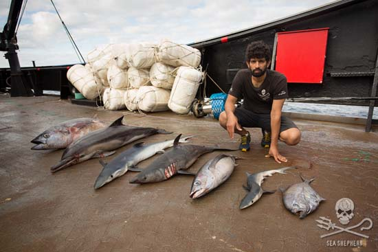 Capt. Chakravarty with some of the many animals slaughtered in the illegal driftnet. Photo: Tim Watters