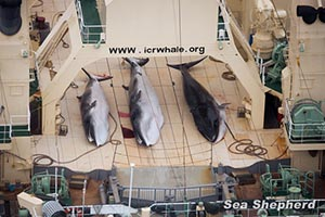 Three dead, protected Minke Whales on the deck of the Nisshin Maru. Photo: Tim Watters