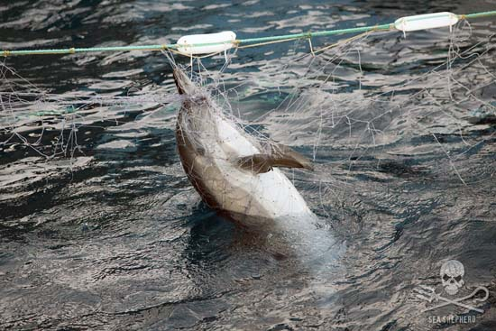 A common dolphin, found dead in one of the illegal driftnets. Photo: Tim Watters