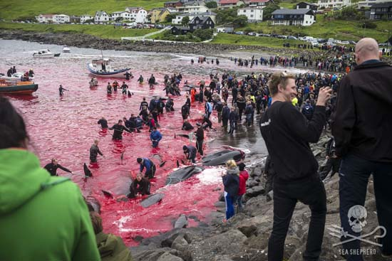 61 pilot whales were slaughtered at the Sandavágur killing beach in the Danish Faroe Isles. Photo: Mayk Wendt