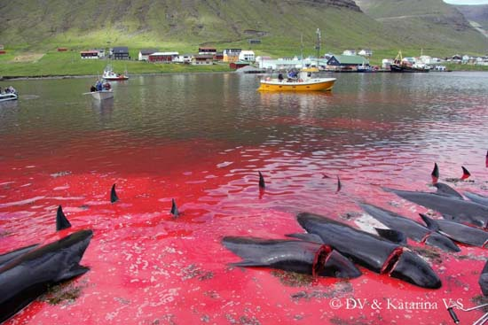 Dead pilot whales line the killing beach of Hvannasund. Imagevianordlysid.fo