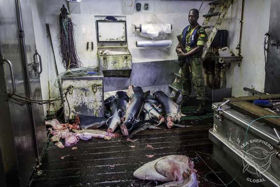 Shark carcasses line the deck inside the F/V Alemar Primero. Photo: Alejandra Gimeno