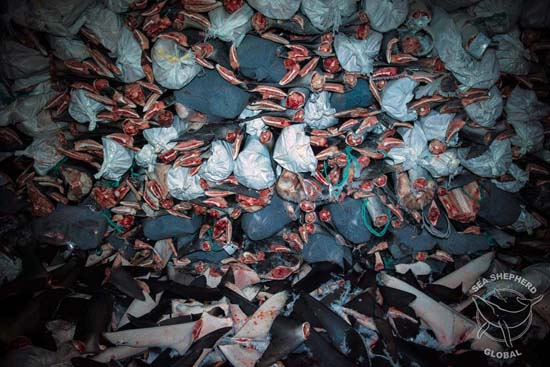 Floor to ceiling shark carcasses and detached fins in frozen storage. Photo: Nelli Huie
