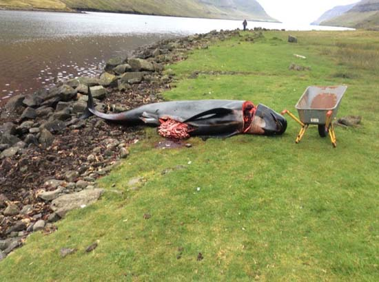 Pilot whale slaughtered at the Hvannasund grind. Photo: Axe Zaal