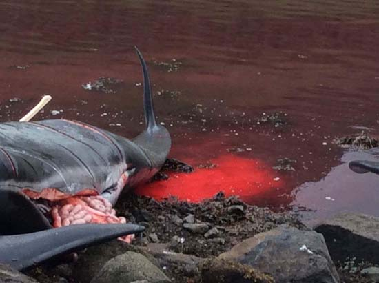 Pilot whales slaughtered at the Hvannasund grind. Photo: Axe Zaal