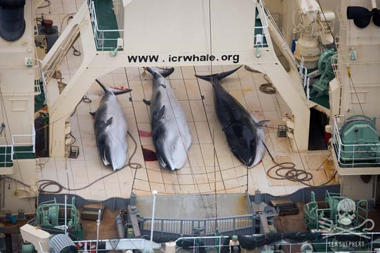 File: Dead Minke Whales Nisshin Maru Deck. Photo: Tim Watters