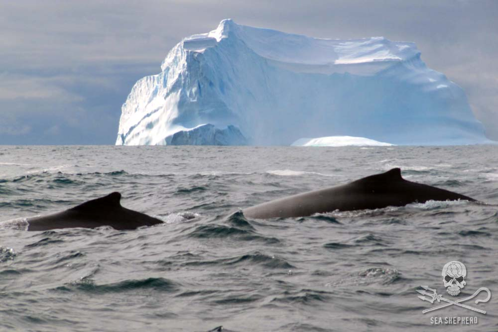 Two Minke whales in the Antarctic