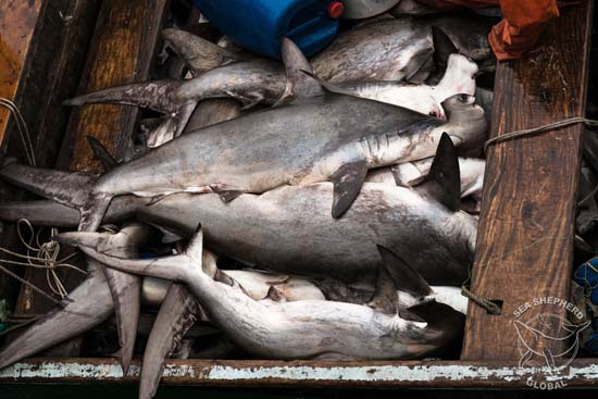 Close-up of endangered scalloped hammerhead sharks on-board illegal pirogue