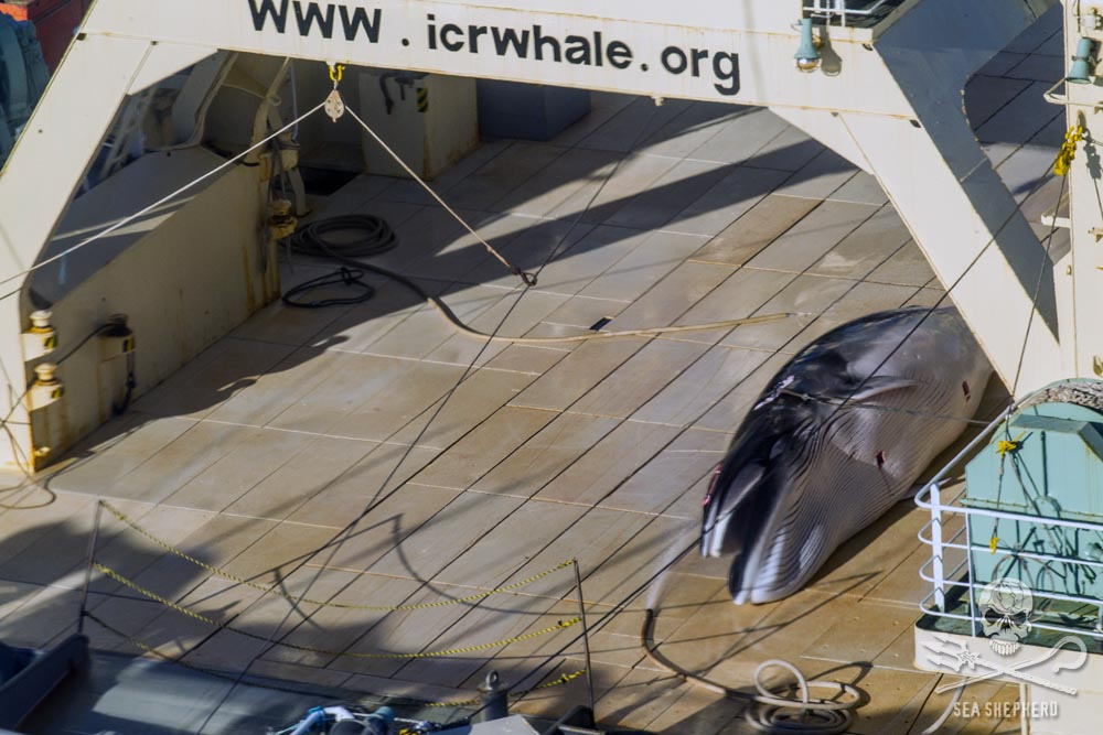 Protected Antarctic minke whale about to be dismembered on the deck of the factory whaling ship, Nisshin Maru