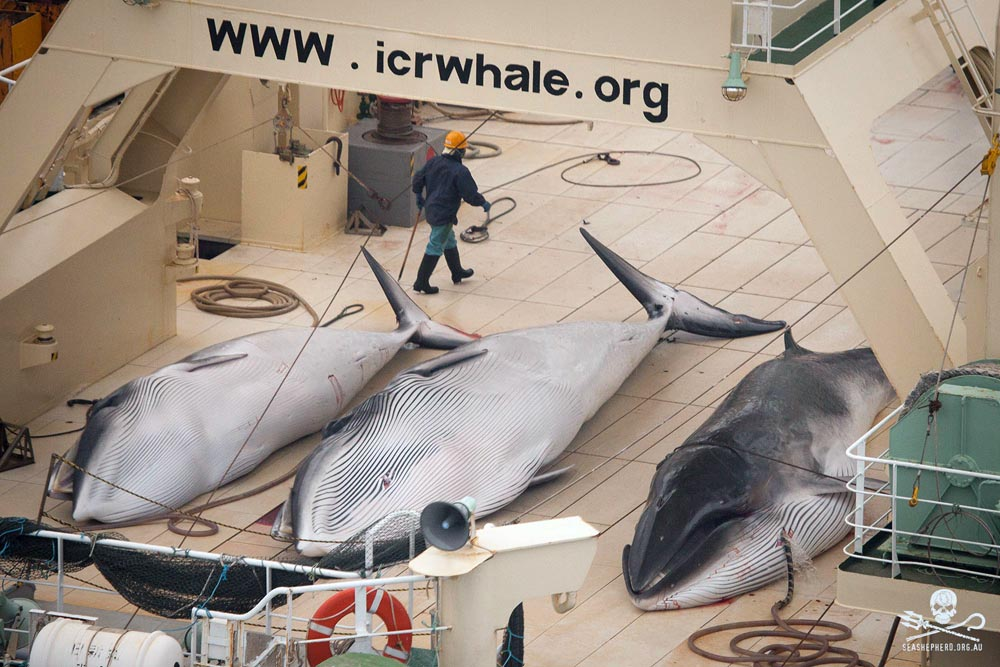 Dead minke whales on the Nisshin Maru, 2014. Photo: Sea Shepherd Global/Tim Watters