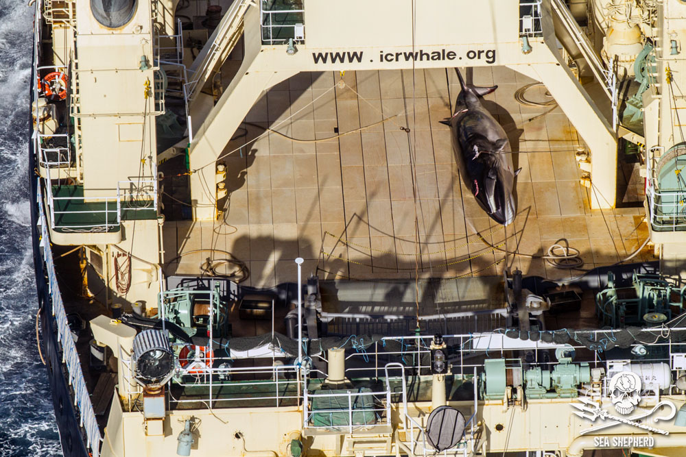 Dead minke whales on Japanese whaling ship. Photo: Glenn Lockitch/Sea Shepherd Global