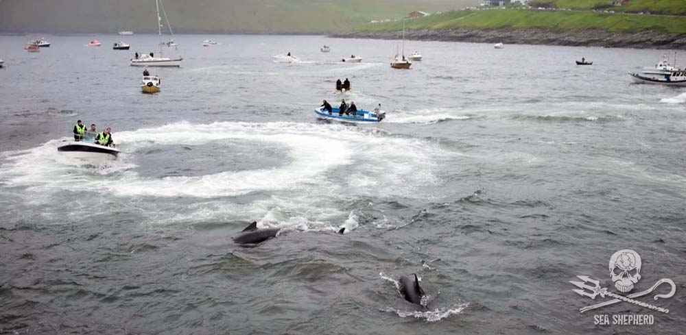 Police officers employed by Denmark on board a Faroese boat actively engaged in herding pilot whales for the Grind slaughter. Photo: Sea Shepherd Global