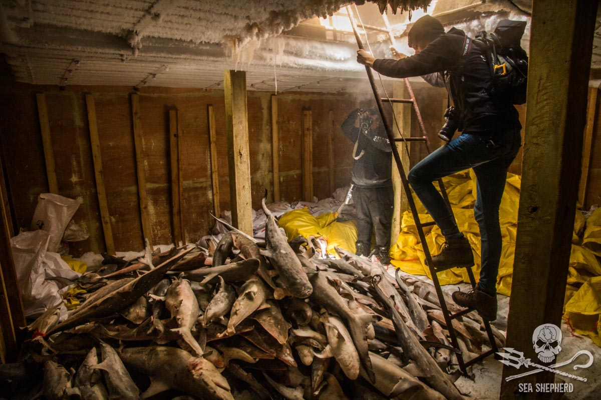 Sea Shepherd crew document masses of dead sharks in the hold. Photo Jake Parker / Sea Shepherd