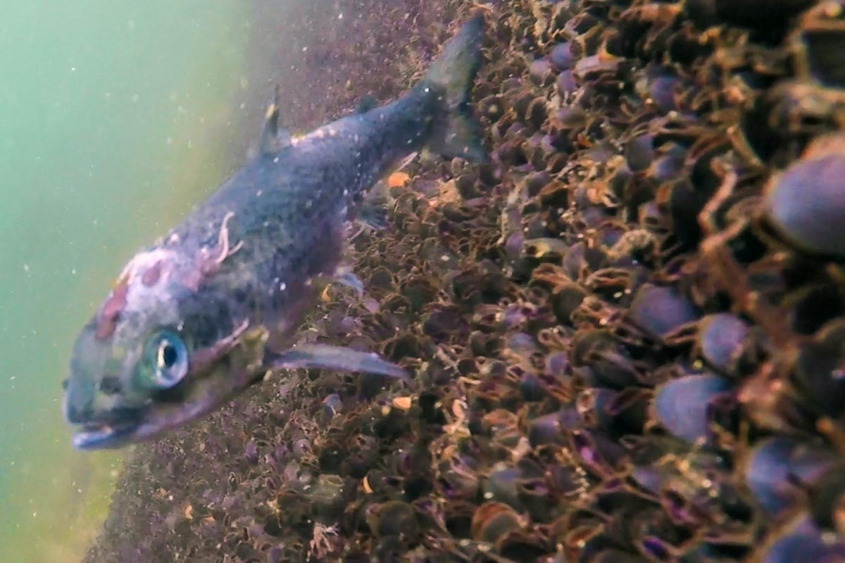 Sea lice from these Atlantic salmon farms are damaging the wild fish populations in BC