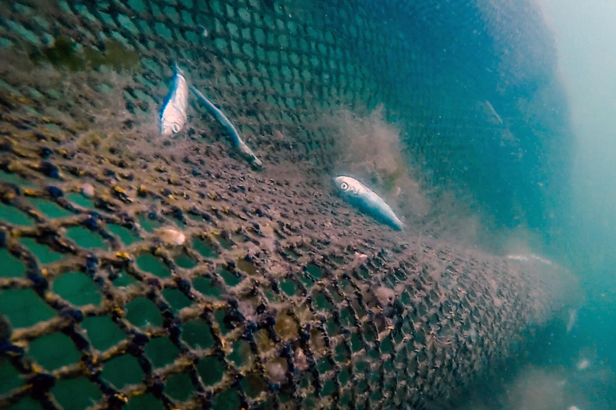 First Nations claim the salmon farms are also wild herrimng fisherie