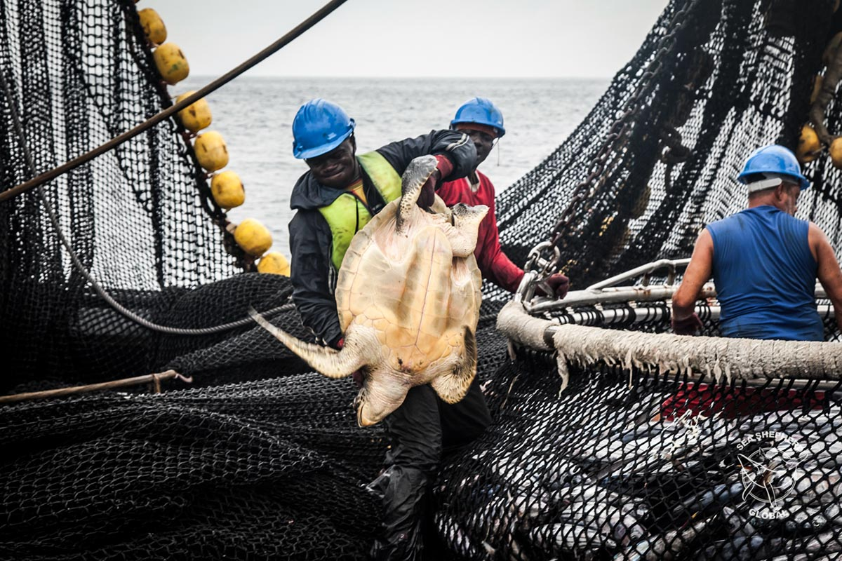 Turtle by-catch being discarded on the Montecelo. Tara Lambourne/Sea Shepherd.