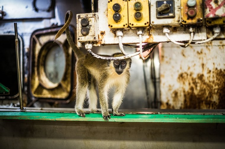A wild monkey found on board in the fish processing plant. Photo by Melissa Romao/Sea Shepherd.