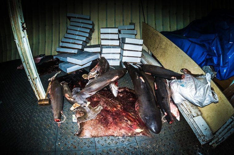 Endangered hammerhead sharks with their fins removed on board the Labiko 2. Photo by Melissa Romao/Sea Shepherd.