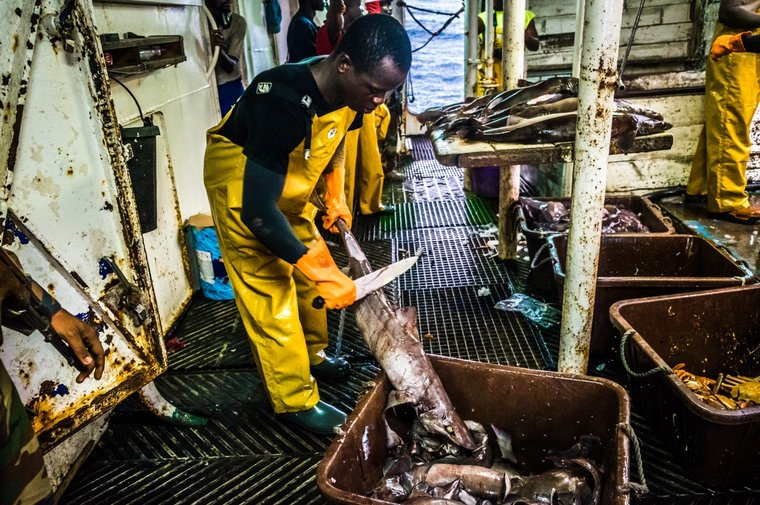 On board the Labiko 2, sharks are finned before their livers are processed into oil. Photo by Melissa Romao/Sea Shepherd.
