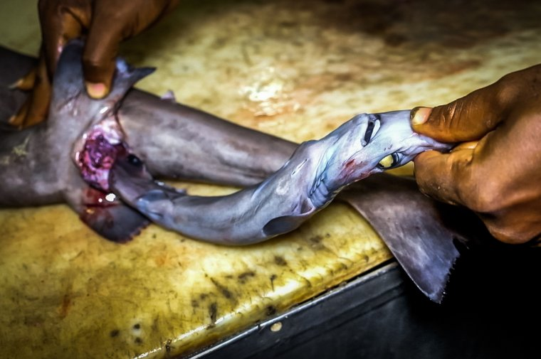 Shark fetus removed from finned deep-water shark. Photo by Melissa Romao/Sea Shepherd.