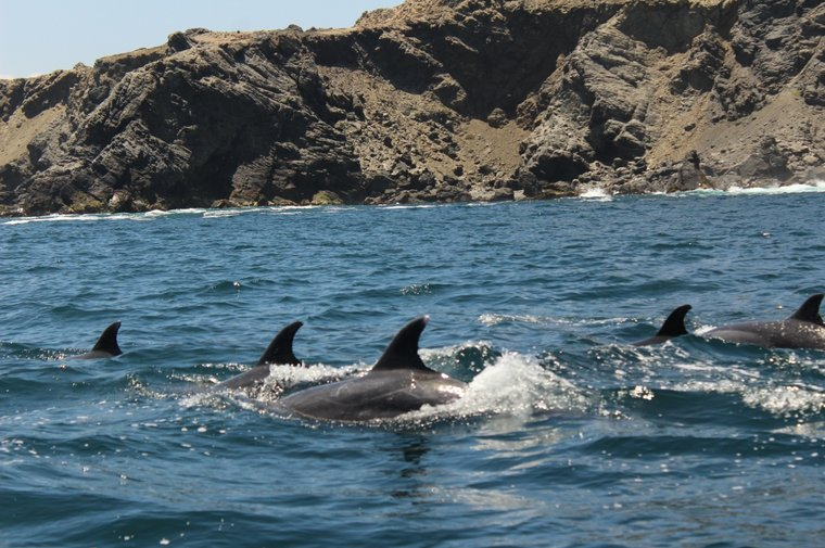 A pod of Bottlenose dolphins in the Choros and Damas Islands Marine Reserve. Photo by Sea Shepherd.