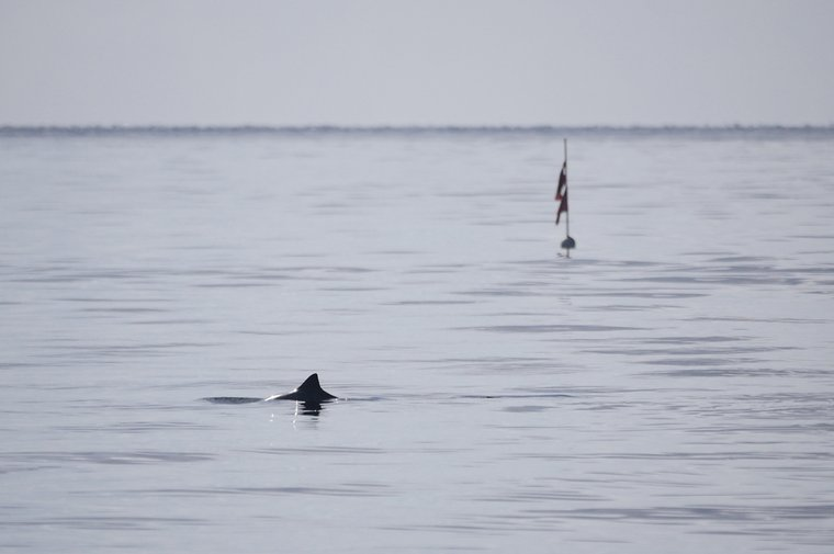 A harbor porpoise next to a deadly gillnet.