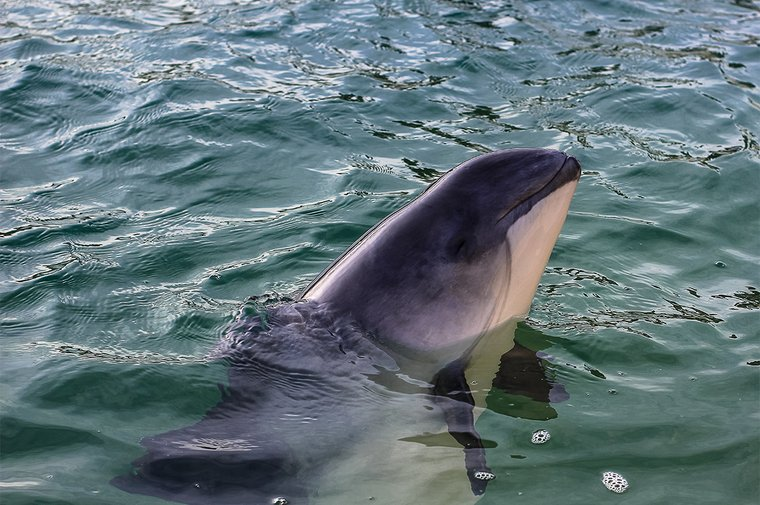 The Perkunas Campaign's mission is to protect the Baltic harbor porpoise
