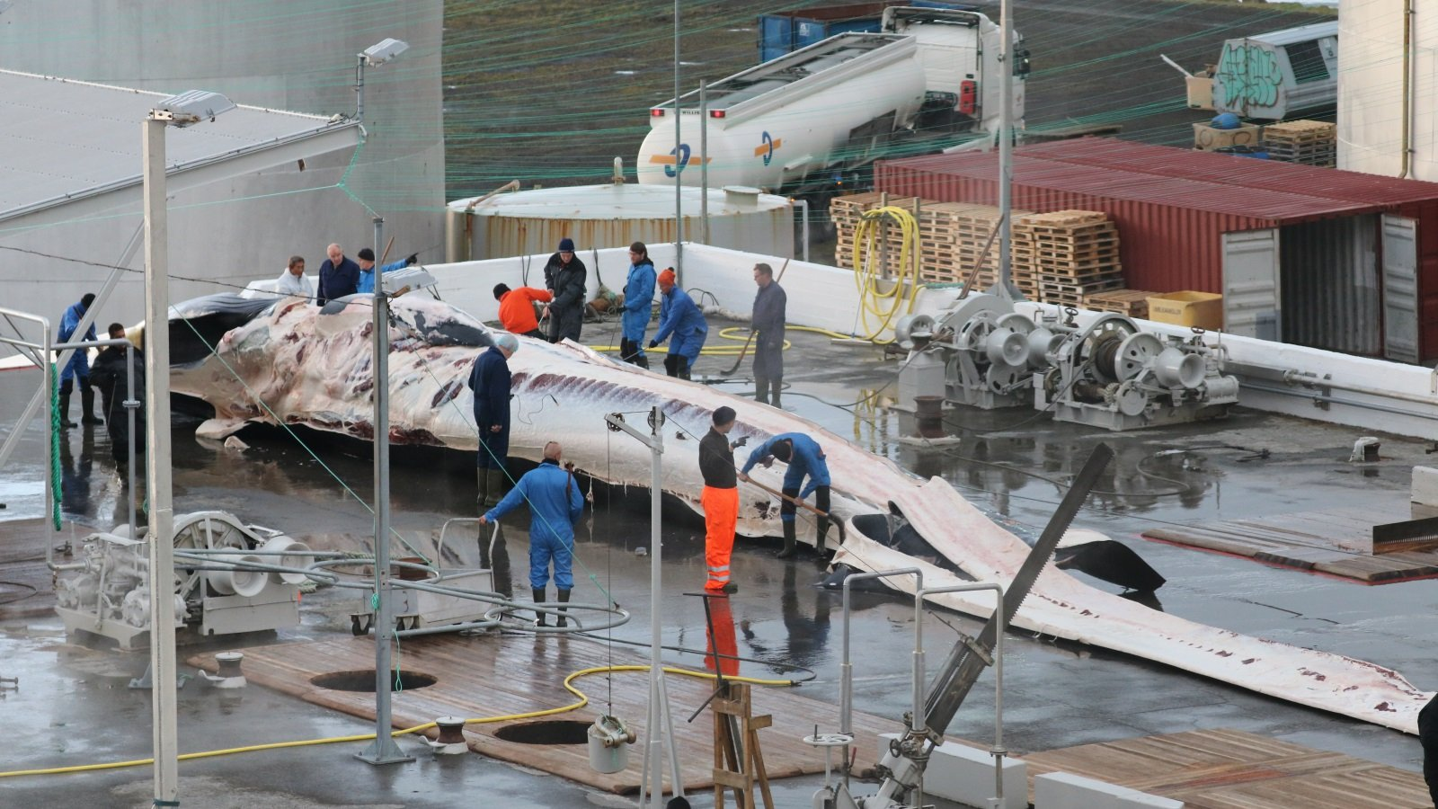 Iceland's Commercial Whaling of Endangered Fin Whales