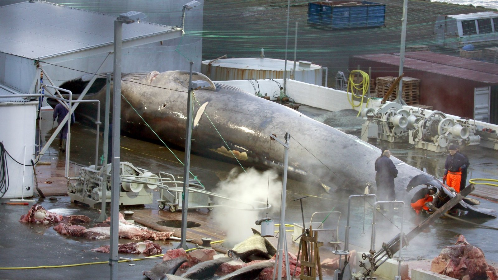 Icelandic Whaling Company Kills Endangered Blue Whale