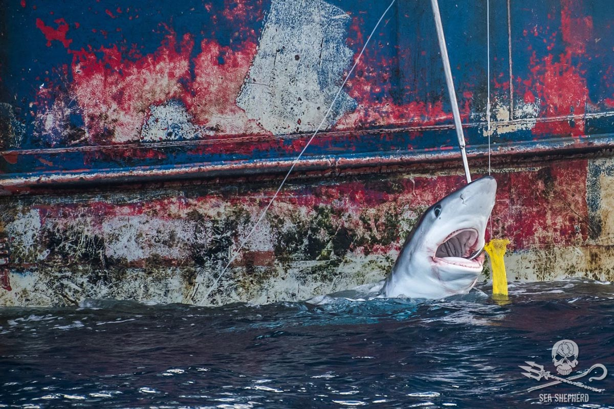 Shark caught on the hooks of the Vema. Photo by Tara Lambourne/Sea Shepherd