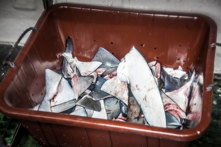 A container of shark fins found on board the Vema, an industrial fishing vessel arrested in São Tomé and Príncipe. Photo by Tara Lambourne/Sea Shepherd.