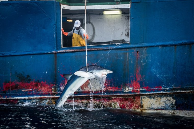 A shark being pulled onto the fishing vessel Vema in São Tomé and Príncipe waters. Photo by Tara Lambourne/Sea Shepherd.