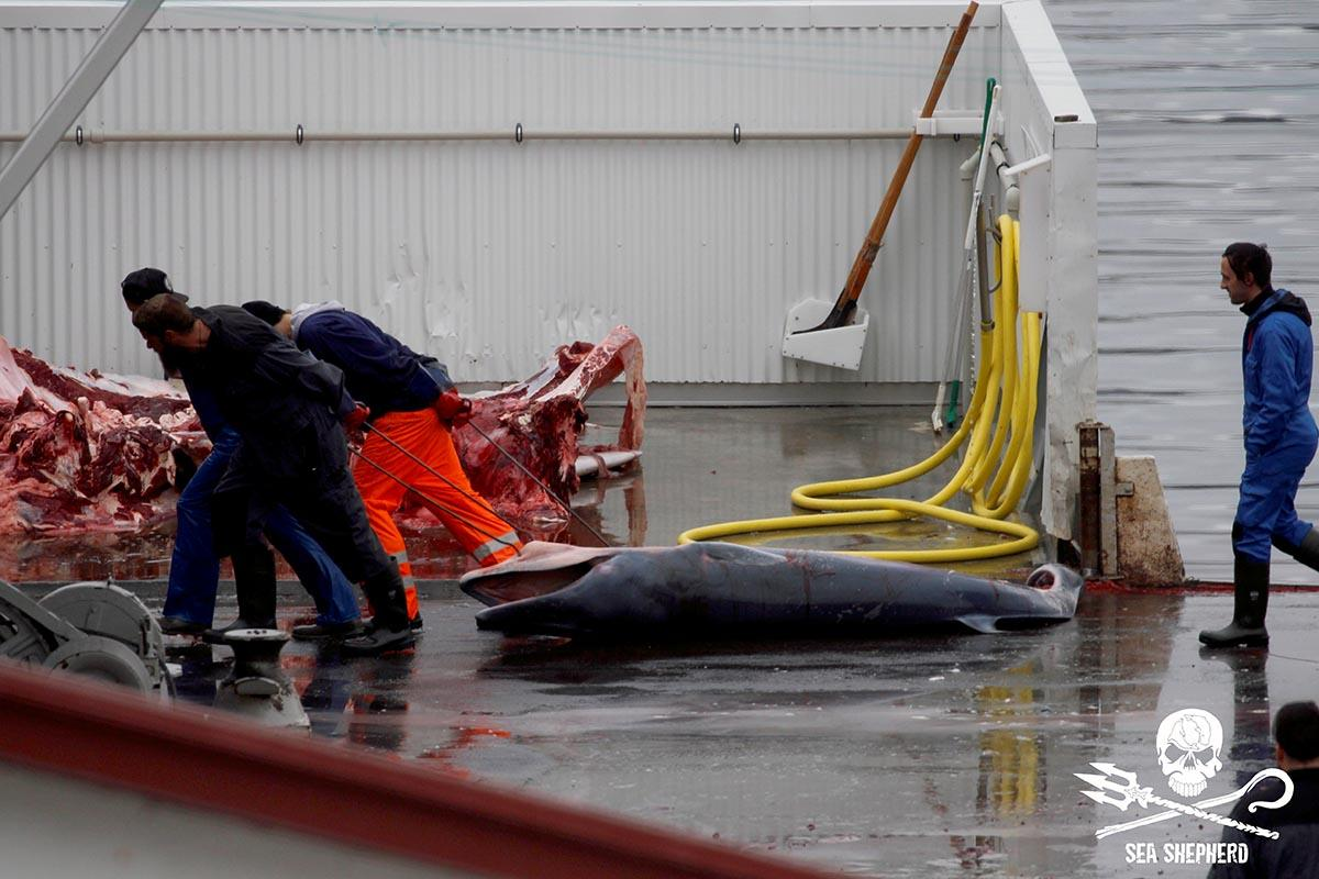 The dead fetus of a Fin whale is dragged out of public view during the butchering of it's harpooned mother at the whaling station at Miðsandur [Sea Shepherd UK – 2018]