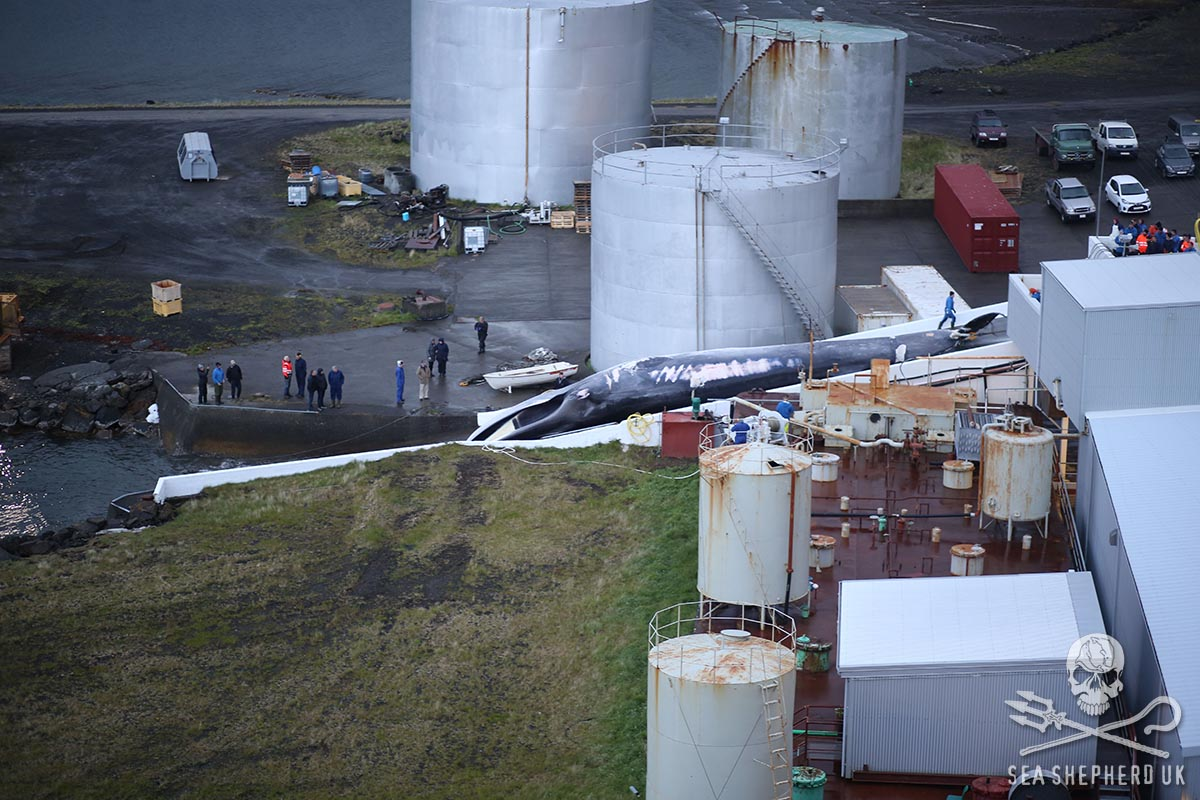 The first Fin whale of the 2018 Icelandic whaling season being winched up the slipway at whaling station after having been harpooned the day before by Hvalur 8 – (Photo by Sea Shepherd UK 22nd June 2018 at 00.30hrs)