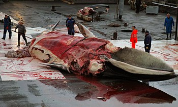 news_090129_1_1_fin_whale_butchered_in_iceland