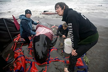 news_090304_2_2_Notes_from_the_Tasmania_whale_stranding