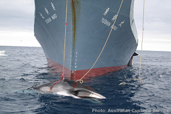 Australian Customs Whaling in the Southern Ocean