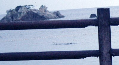 Dolphins captured in Taiji