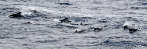 A pod of Short-finned Pilot Whales