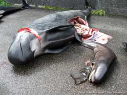 dead pilot whale and baby
