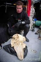 Sea Shepherd diver analyzes a pilot whale skull found at the site. Photo: Simon Ager