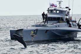A pilot whale jumps in front of the Brigitte Bardot vessel.