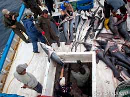 Inspectors pull the dead sharks from the hold of the vessel. Photo: Tim Watters