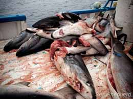 Shark victims onboard the shark fishing vessel. Photo: Tim Watters