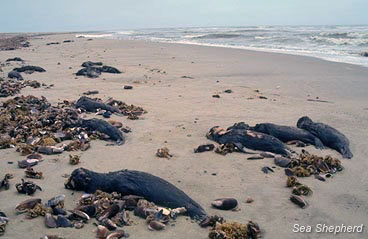 Slaughtered seals on the shores of Namibia