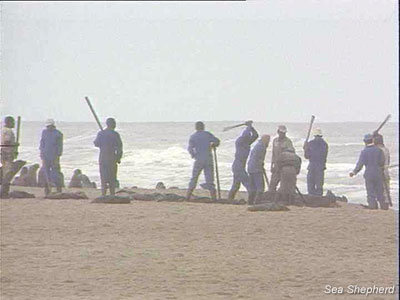 Seasonal laborers, paid below minimum wage slaughter baby seals in Cape Cross Seal Reserve
